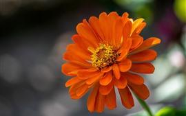 Flor alaranjada das pétalas, Zinnia