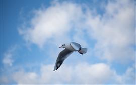 Vôo do pombo, céu azul, nuvens, pássaro
