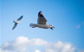 Vorschau des Hintergrundbilder Taubenflug, Flügel, Himmel, Vögel