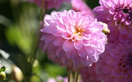 Preview wallpaper Pink dahlia bloom, spring, bright