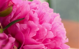 Preview wallpaper Pink peony macro photography