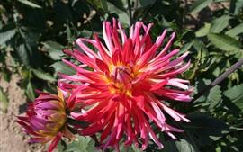 미리보기 배경 화면 핑크 꽃잎 달리아, 봄