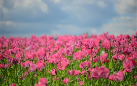 Pink poppies, flowers, hazy