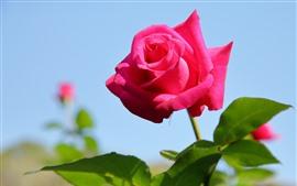 Rosa rosa de primer plano, fondo azul
