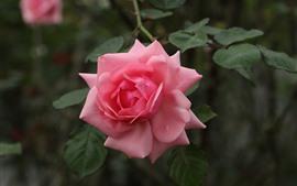 Pink rose close-up, petals, leaves