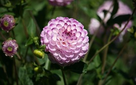 Preview wallpaper Pink white petals dahlia, garden
