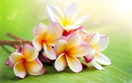 Plumeria, hazy background