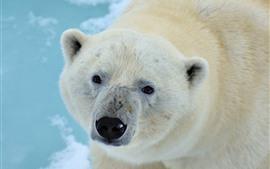 Urso polar olha para você, cara, olhos, nariz
