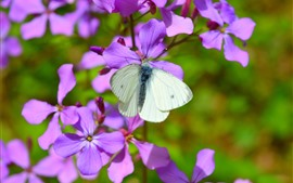 Preview wallpaper Purple flowers, white butterfly