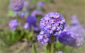 Florecillas moradas, tallo, primavera.