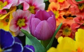 Фиолетовый тюльпан и оранжевые цветы