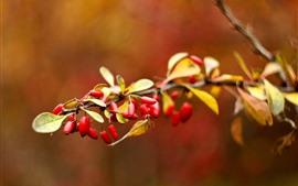 Aperçu fond d'écran Baies rouges, briar, feuilles