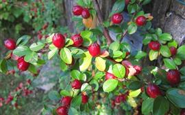 Red berries, green leaves, twigs