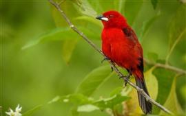 Pássaro de penas vermelhas, folhas verdes