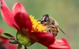 Pétalas de flores vermelhas, abelha, inseto
