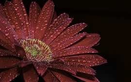 Preview wallpaper Red gerbera, petals, water droplets, black background