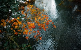 Red maple leaves, twigs, stream, water