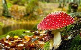 Cogumelo vermelho, natureza, musgo