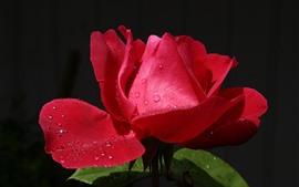 Красная роза крупным планом, лепестки, капли воды, свет