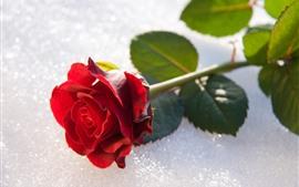 Rosa vermelha, pétalas, caule, folhas