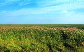 Canas, campos, céu azul