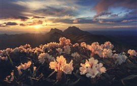 Rhododendron, mountains, sunrise, morning