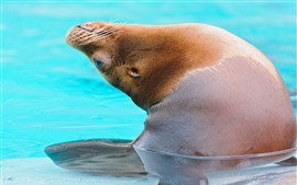 Preview wallpaper Sea lion out water