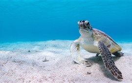 Preview wallpaper Sea turtle, underwater