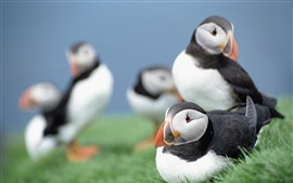 Preview wallpaper Some puffins, green grass