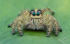 Preview wallpaper Spider macro photography, look, eyes