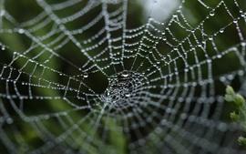 Tela de araña, gotas de agua