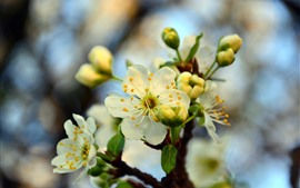 Spring, white cherry flowers bloom, blurry background