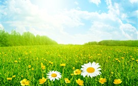 Summer, chamomile, green grass, sky, clouds, glare