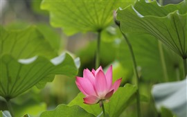 Preview wallpaper Summer flowers, pink lotus, green foliage