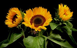 Sunflowers, black background