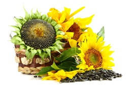 Sunflowers, seeds, white background