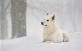 Cão de pastor suíço, neve, inverno