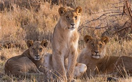 Three lioness, savannah, grass