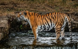 Preview wallpaper Tiger standing in water