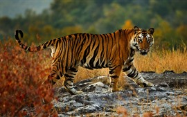 Tiger walking, wildlife, look