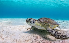 Preview wallpaper Turtle, underwater, sea