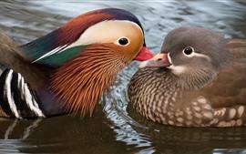Dois pássaros, pato mandarim, água