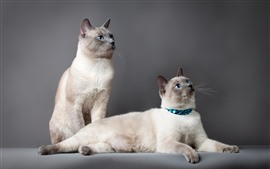 Preview wallpaper Two cute cats, blue eyes, gray background