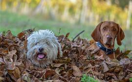 Две собаки спрятаны в листьях