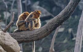 Dois, macaco dourado, árvore