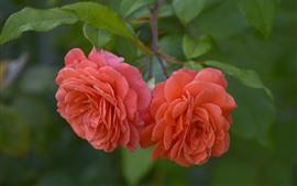 Dos rosas rosas, hojas verdes.