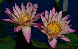 Two water lilies, pink petals