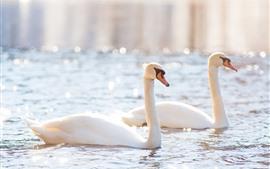Два белых лебедя, пруд, блеск, блики