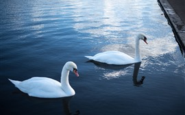Two white swans, water, pond