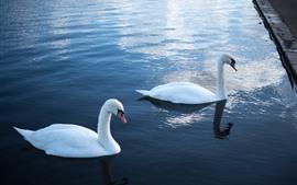 Duas cisnes brancas, água, lagoa